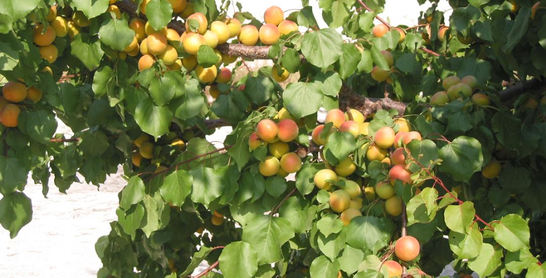 Árbol de Murciana