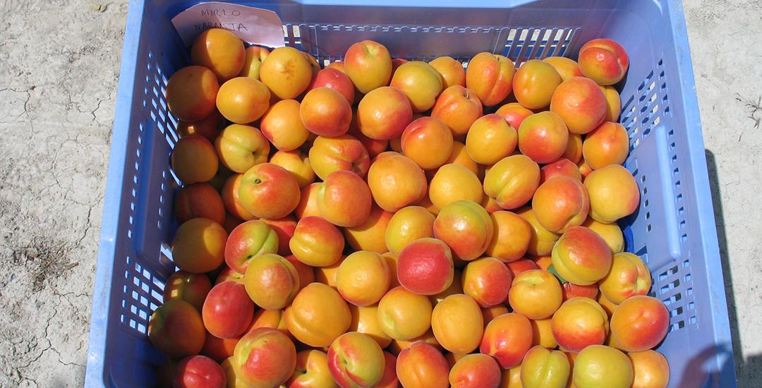 Fruta de Mirlo Anaranjado en caja