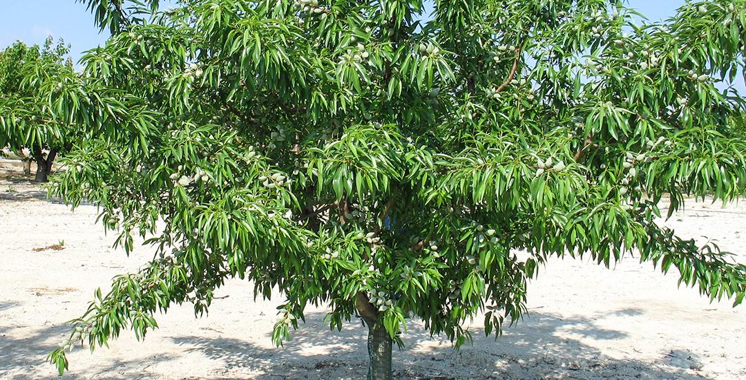 5ª Penta árbol