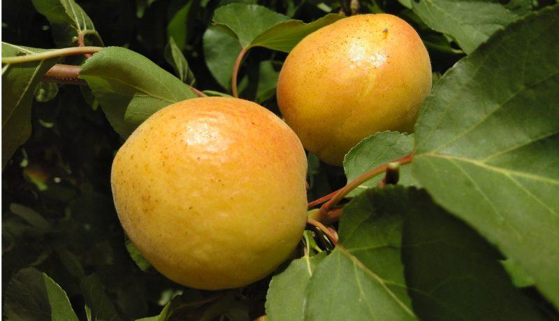 Capricho - Fruto